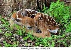 sleeping fawn | Sleeping Fawn 2 Stock Photo & Stock Images | Bigstock