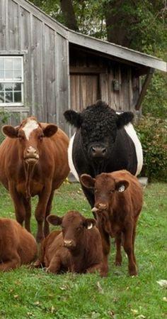 Cattle- cow- xx-tracy porter - poetic wanderlust
