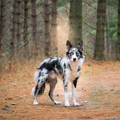 Confused About Your Canine? Border Collie Bleu Merle, Blue Border Collie, Blue Merle Collie, Dogs Border Collie, Cute Dogs And Puppies, Baby Dogs, Pet Dogs, Lab Puppies, Weiner Dogs
