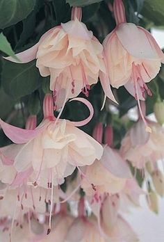 Large fully double flowers open from white buds and are white flushed with palest pink and very fine red stripes.