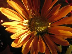 http://fineartamerica.com/featured/chrysanthemum-in-the-golden-hour-elisabeth-ann.html?newartwork=true For Sale To Get Info Click Link Art Print $15