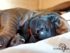 Puppy Dobermans, Rhodesian Ridgeback, Beautiful Dogs, Dog Pictures, Cute Dogs, Puppies, Thoughts, Animals, Cubs