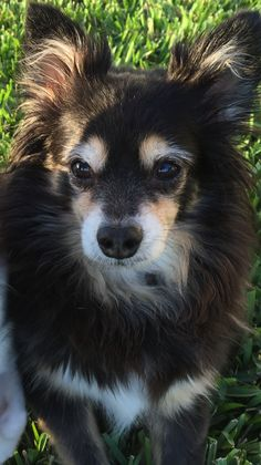 Annabelle <3 Chihuahua Sheltie Mix