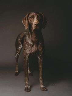 German Shorthaired Pointer.                                                                                                                                                                                 More