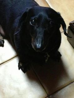 Nathan from Brooklyn, NY - Gustav's Dachshund World and Friends