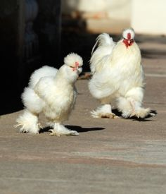 "Silkies are one of the most recommended birds for kids. They are less ""flighty"" than other birds, and can develop a close relationship with their owners if cared for and handled properly. They are often called the ""puppy dogs"" of the chicken  world. Credit: Thinkstock"