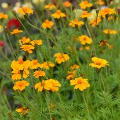 Gröngödslingsväxt som rekommenderas som jordförbättrare och tar bort upp ti...