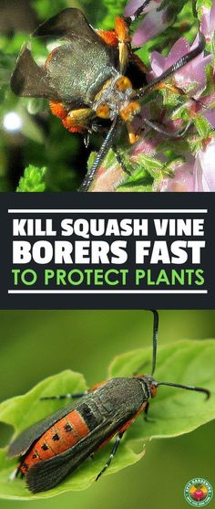 Pin By Nancy Spears On Pest Control Squash Plant Garden Pests