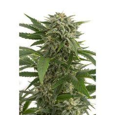 Semillas de marihuana Bubba Kush autofloreciente de Dinafem al mejor precio! con…