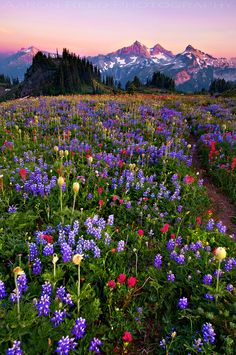 Field of Dreams. Mt. Rainier National Park, Washington.