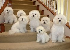I would LOVE a house full of bichons, have enjoyed three of them at a time which was pure joy!