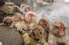 Monkeys bathing in hot spring at Jigoku Valley, Nagano, Japan