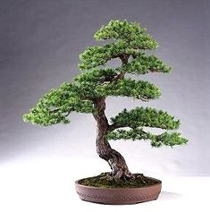 Bonsai... it's a nice hobbie ;-)  I've some trees & continues sowing.... for the planet.
