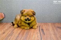 Pomeranian Puppy For Sale Near Columbus Ohio 036cd756 F9a1
