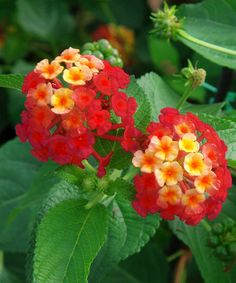 Another great find on #zulily! Live 'Red Bandana' Lantana Tree by Cottage Farms Direct #zulilyfinds