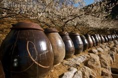 A plum farm in South Korea.  These contains are for making korean plum wine. The flowers behind them are plum blossoms.