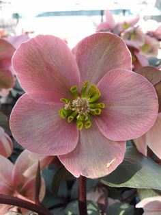 Helleborus - shade perennials that flower