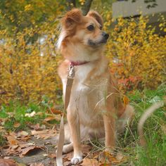 Nella the former shelter dog from Spain, now living a happy life in Finland Shelter Dogs, Happy Life, Finland, Corgi, Spain, Animals, The Happy Life, Animais, Corgis