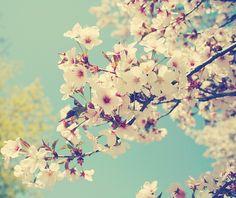 Sakura no hana.