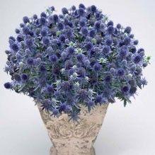 Rysk martorn 'Blue Hobbit' Eryngium planum, Fjärilsväxter, fjärilsträdgård, butterfly garden plant