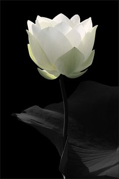 White Lotus Flower - ©Bahman Farzad / lotusflowerimages.com - www.flickr.com/photos/21644167@N04/6208603709/in/photostream