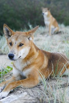 Dingo Cool Dingo guided 2 and tours of Fraser Island Animals Beautiful, Cute Animals, Wolf Images, African Wild Dog, Fraser Island, Australian Animals, Animal 2, Wild Dogs, Animal Photography