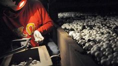 Mushroom pickers harvest white button mushrooms at the Creekside Mushrooms facility in Worthington. Pittsburgh Post-Gazette
