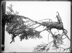 """Wacholder /Juniperus mit Gitterrost. PI_29-C-0196. User Andreas: """"Das ist ein Wacholder /Juniperus mit Gitterrost, wahrscheinlich dannzumal eine noch eher unbekanntere Krankheit?"""" Image Archive, Andreas, Utility Pole"""