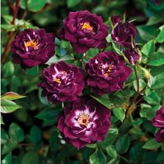 """Diamond Eyes rose.  Dark purple, white center, lighter reverse large, full, cluster-flowered, in small clusters bloom form. Short, bushy, compact. Small, glossy, dark green foliage.  Can be used for beds and borders, container rose, cut flower or garden. Petal 26-40, Bloom 1.25"""""""