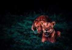 372 Beste Afbeeldingen Van Leeuw In 2018 Animal Pictures Wild