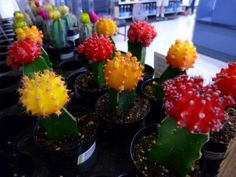Yellow and red grafted cactus photo by Rusty Clark.