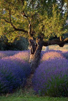 Une fin de journée d'été. ..les cigales chantent encore un peu, un peu moins fort, les abeilles travaillent toujours dans les lavandes, un petit lézard traverse sur les graviers, un oiseau effayé lance une alerte, il fait si chaud encore....appuyée contre l'ecorce du chêne j'entends les vies mystérieuses sous le liège....le soleil décline derrière les Alpilles, le soir embaume....