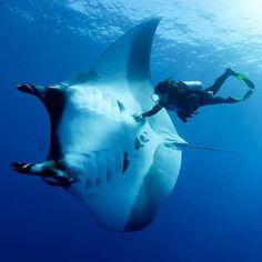 Incredible shot of man swimming next to a 16 feet Manta Ray via Thrill On.