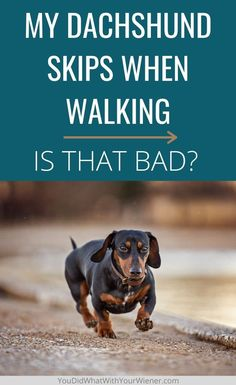 Does your small dog Dachshund skip when running or walking? There could be several medical causes like luxating patella, a spinal issue, or hip dysplasia. It could also be nothing. Here is how to tell if it's something you should worry about. Puppy Training Tips, Training Your Dog, Miniature Dog Breeds, Dachshund Breed, Puppy Find, Dog Friendly Hotels, Hip Dysplasia, Dog Health Care, Best Puppies