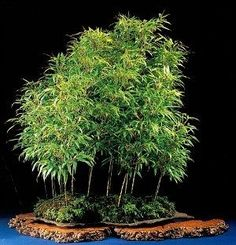 Why don't you see many bamboo bonsai in exhibits? What is heavenly bamboo? Is lucky bamboo real bonsai? Bamboo Landscape, Bamboo Garden, Landscape Design, Plants Near Me, Big Plants, Bamboo Plants For Sale, Bamboo Plant Care, Plants Grown In Water, Privacy Plants