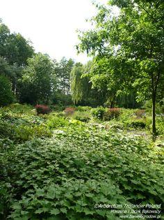 Arboretum Trojanów Poland Kirengeshoma palmata