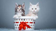 Maine Coon kittens [1920 x 1080] Need #iPhone #6S #Plus #Wallpaper/ #Background for #IPhone6SPlus? Follow iPhone 6S Plus 3Wallpapers/ #Backgrounds Must to Have http://ift.tt/1SfrOMr