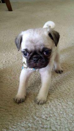 Itty bitty baby pug