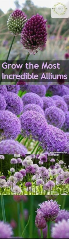 If you love to grow flowers in your yard, chances are you've seen alliums. Even if you don't know the name, you'll probably recognize this gorgeous, show-stoping bulb. Some varieties boast huge…MoreMore #GardeningTips