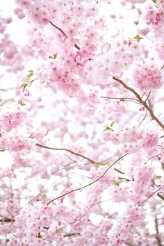 Japanskt körsbärsträd. Inget lockar fram så mycket vårkänslor som körsbärsblommorna