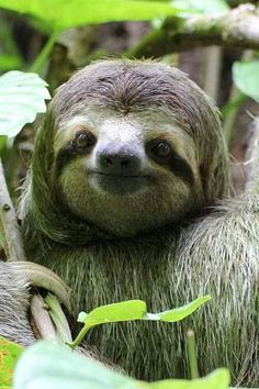 A slothful collection about the best animal on the planet :: baby sloths :: funny sloths :: meme sloths Pictures Of Sloths, Cute Sloth Pictures, Sloth Photos, Animal Pictures, Smiling Sloth, Cute Baby Sloths, Three Toed Sloth, Animal Antics, Cute Little Animals