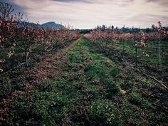 Okanagan orchards in spring  happy to see the turning away from the past trend…