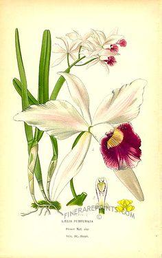 Antique print: picture of Laelia purpurata - Brazil by Edward Step 1896