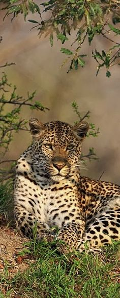 The Léopard ~ one of the five big cats. Native to Africa, the Middle East, South and Southeast Asia to Siberia.