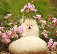 Pomeranian Puppy.   маленький мальчик, ждет свою любящую семью #померанскийшпиц…