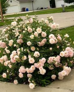 Rose 'Morden Blush' for Sale Online and In Store Calgary, Alberta Landscaping Shrubs, Front Yard Landscaping, Shrubs For Borders, Rose Hedge, Low Growing Shrubs, Front Flower Beds, Berry Plants, Flower Landscape, Side Garden