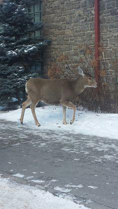 Banff Banff, Moose Art, Wildlife, Animals, Animales, Animaux, Animais, Animal