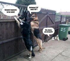 German shepherds and a tiny dog.