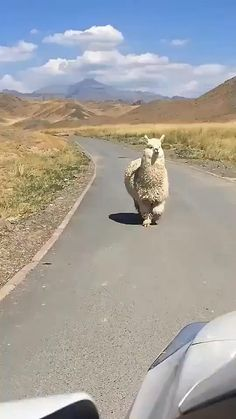 Cute Little Animals, Cute Funny Animals, Cute Little Things, Funny Cute, Cute Animal Videos, Cute Animal Pictures, Animal Jokes, Funny Animal Memes, Cute Alpaca