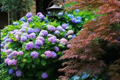 'Big Daddy' Hydrangea with flower blooms twice the size of 'Endless Summer' wide and tall. Hydrangea Garden, Blue Hydrangea, Landscape Design, Garden Design, Endless Summer Hydrangea, Growing Ginger, Hydrangea Macrophylla, Foundation Planting, Wonderful Flowers